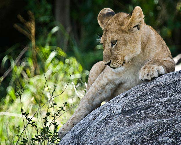 A lion cub on the Kilimanjaro Safari (Photo: Adam Angel)