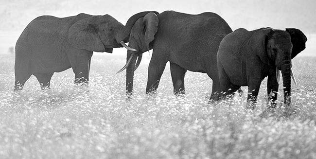 Elephants Playing (Photo Adam Angel)