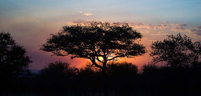 Acacia tree sunset on the Serengeti. Photo by IMG Guide Adam Angel
