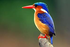 Malachite Kingfisher on the International Mountain Guides Kilimanjaro African Safari