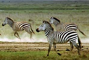 Zebras on the International Mountain Guides Kilimanjaro African Safari