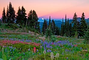 Wild flowers at Paradise on Mt Rainier. Photo by Rick Saez