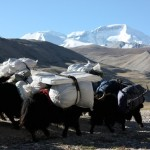 Yak teams heading to Intermediate Camp