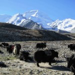 Yaks at IC. (Photo by Ang Jangbu)