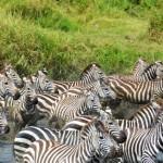 Zebra Stampede (Eben Reckord)