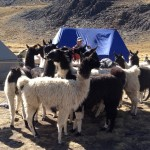 Llama Wrangling at Condoriri Base Camp. (Greg Vernovage)