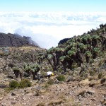 "Descending to Barranco Camp with a ""forest"" of giant groundsel plants. These ""trees"" produce a natural antifreeze which allow them to flourish at high altitudes  (Eric Simonson)"