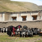 Tibetan woman milking goats at Zambuk village on the way to Rongbuk (Ang Jangbu Sherpa)