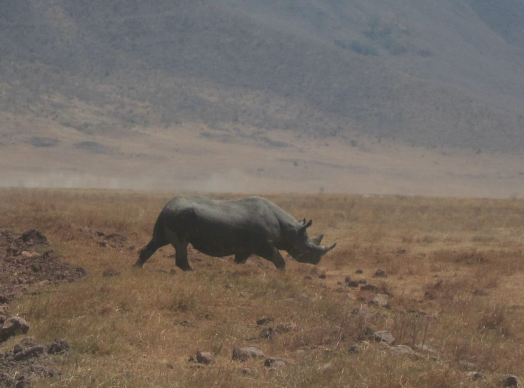 Rhino in Ngorongoro Crater (Eben Reckord)