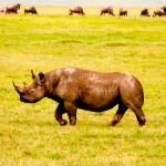 The elusive Rhino. (Jenni Fogle)