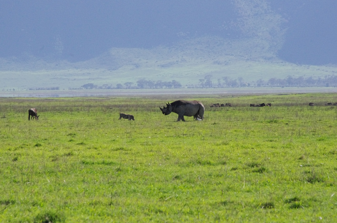 Rhino in Ngorongoro Crater (Max Bunce)