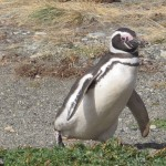 Paul the penguin.