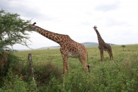 Giraffes munching on Acacia trees