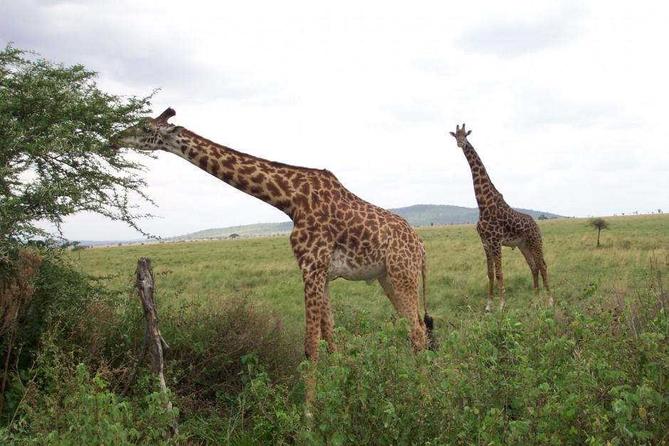 Giraffes munching on Acacia trees