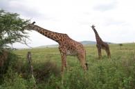 Masai Giraffes eating the Acacia trees on the east side of Serengeti  (Eric Simonson)