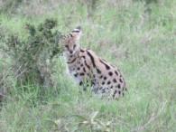 Serval cat (David Feinleib)