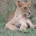 Young lion (David Feinleib)