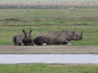 The elusive Black Rhino