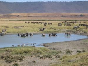 Zebras on the safari