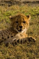 Cheetah (Greg Vernovage)
