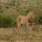 Lion (Greg Vernovage)