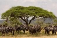 Zebras (Greg Vernovage)