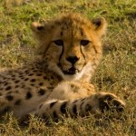 Cheetah cub kicking it back (Greg Vernovage)