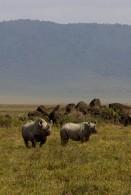 Rhinos in the Ngorongoro (Greg Vernovage)
