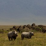 Rhinos in the Ngorongoro (Greg Vernovage)