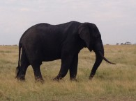 Bull Elephant. (Dustin Balderach)