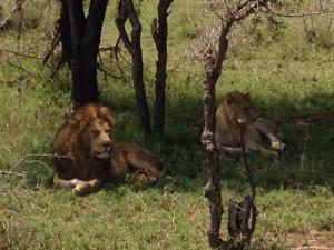 Lions. (Dustin Balderach)