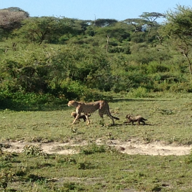 Cheetah and cubs - Last photo from the team