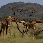 Giraffes. (Greg Vernovage)