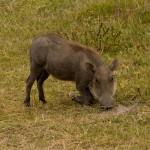 Warthog (Greg Vernovage)