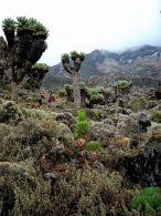 Senecio and Lobelia plants on the way to Baranco Camp