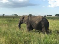Elephant and Acacia Trees on the Serengeti. (Dustin Balderach)