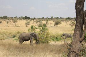 Elephants on the Serengeti (photo: Dustin Balderach)
