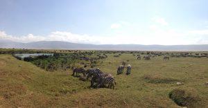 Zebra and Wildebeest in Ngorongoro Crater (Dustin Balderach)