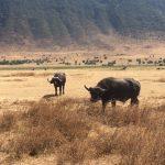 Buffalo in Ngorongoro Crater (Dustin Balderach)