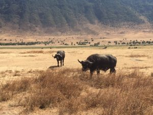 Buffalo in Ngorongoro Crater (Dustin Balderach)