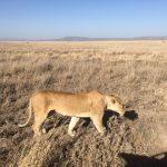 Lioness on the Serengeti (Dustin Balderach)