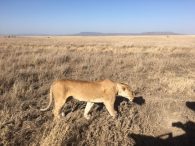 Lioness on the Serengeti (Dustin Balderach)