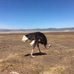 Ostrich in Ngorongoro Crater (Dustin Balderach)