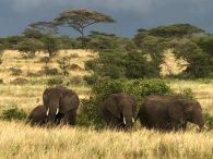 A Herd of Elephants (Tye Chapman)
