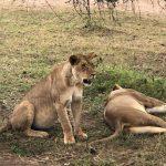 Lounging Lions (Tye Chapman)