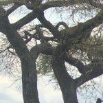 Snoozing Leopard (Tye Chapman)