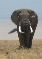 BIG elephant in the Crater (Phil Ershler)