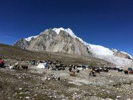 Yaks waiting at Gyaplung (Phunuru Sherpa)