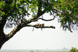 Cheetah on the African Safari (Kate Kishfy)