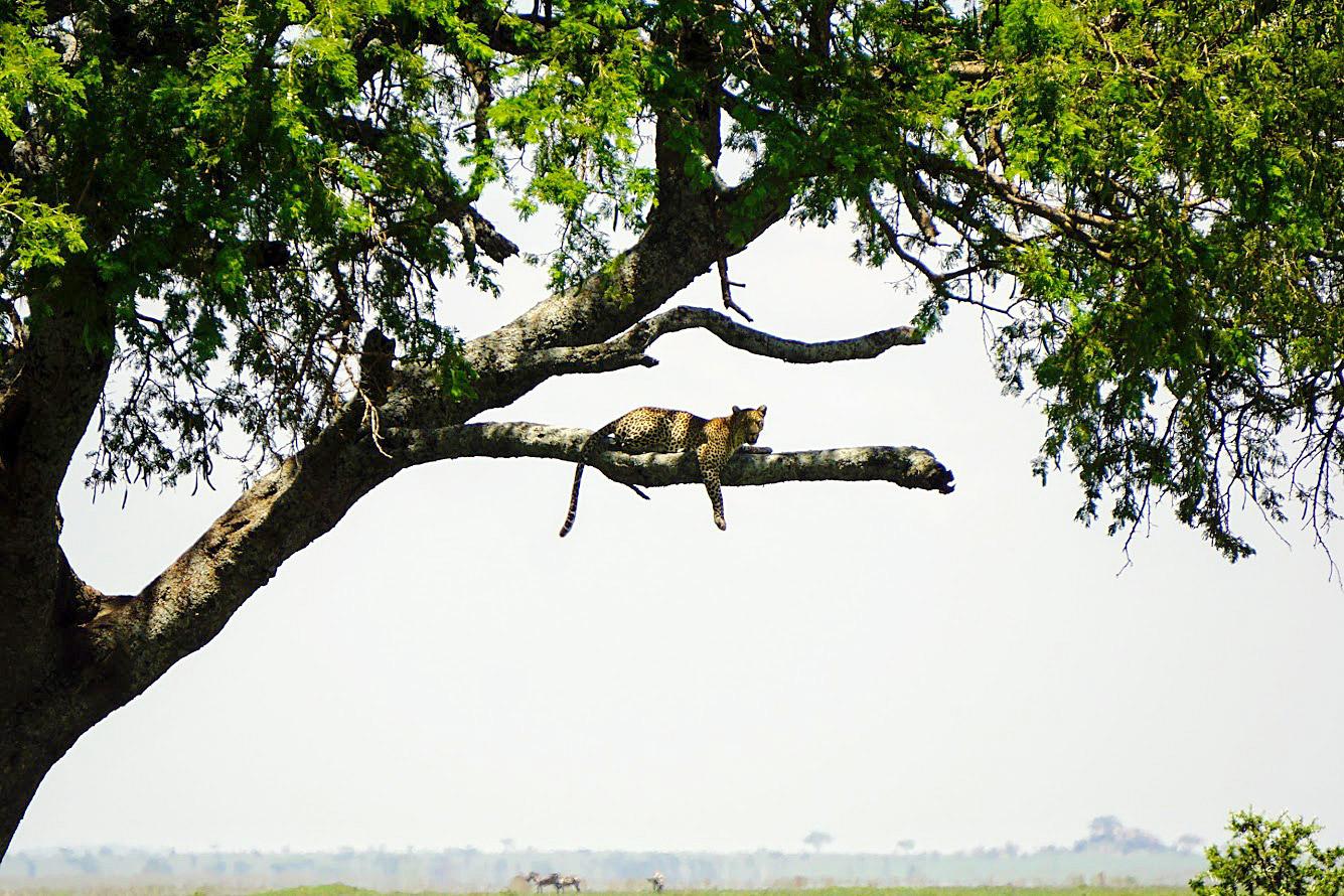 Cheetah on the African Safari (Kate Kishfy)